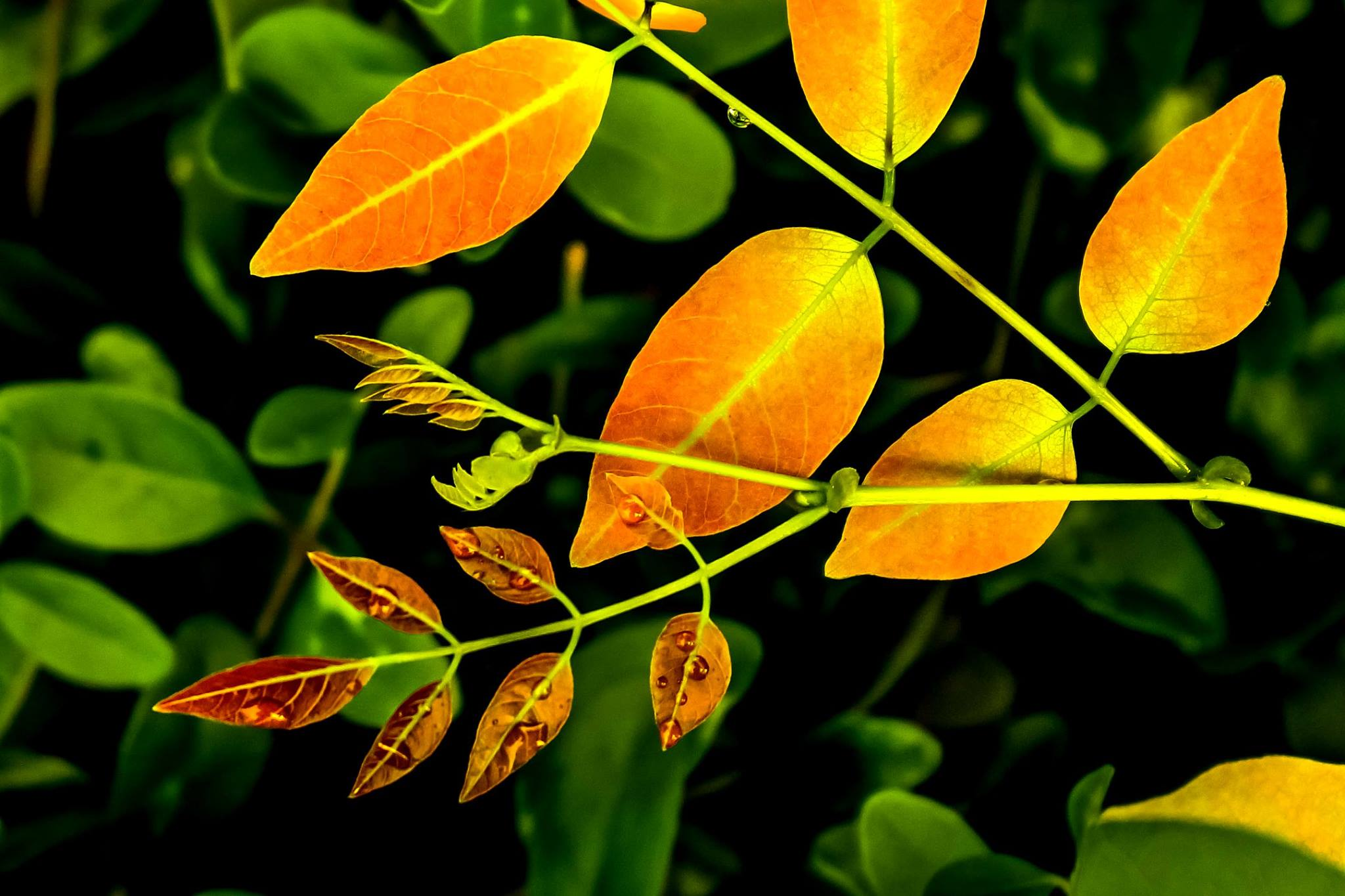 This is an artistic, close-up shot of leaves in multiple bright colours. In the forefront are a few deep brown and young leaves on a slender stem; the stem itself branches out from a larger stem with golden yellow leaves. Water droplets can be seen on the stems and the young leaves. In the background is a blurred mass of green leaves interspersed with dark, unlit spaces in between. The contrast in colours seems to symbolize hope and a blend of the 'new' emerging from the 'old' over time. Photo credit: Vahista Dastoor