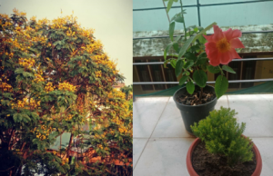 This is a panel of two photographs – on the left is a daytime shot of a yellow 'radhachura' tree in full bloom as seen from Mayuri's bedroom window; on the right are two potted plants placed on a window sill (on the inside). One of the plants is a large pink rose that, quite symbolically, bloomed during the lockdown. Mayuri says the 'radhachura' and the rose were her best friends during the lockdown. Photo credits: Mayuri